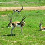 Gazelle, impala, topi, hartebeest at Masai Mara.