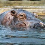 Hippo.