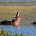 Hippopotamuses love water.