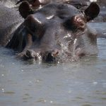 Hippo family.