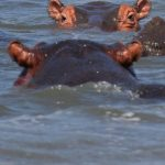 Hippos cause more human deaths than any other wild animal.