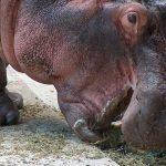 Hippopotamus skin texture.