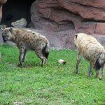 Hyenas.