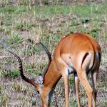 Sole member of the genus Aepyceros, impala is found in eastern and southern Africa.