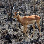 Impala in burnt land.