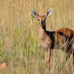 Klipspringer Antelope.