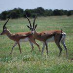 Pair of Thompson's gazelles.