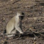 Photo of a vervet monkey.