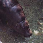 Pygmy-hippo.