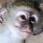 Baby vervet monkey.