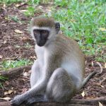 The scientific name for vervet monkey is Cercopithecus Aethiops.
