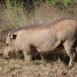 Scientific name of warthog is Phacochoerus Africanus.