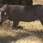 The warthogs are very quick.