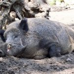The common warthog is a member of the pig family.