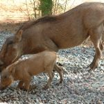The warthog is a wild member of the pig family.