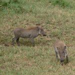 Warthog family.