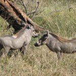2 Warthogs.