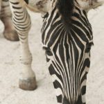 Zebras may occasionally eat herbs, bark, shrubs, twigs, and leaves although they feed almost entirely on grasses