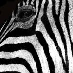 Zebras may occasionally eat herbs, bark, leaves, shrubs, and twigs although they feed almost entirely on grasses