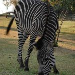 Zebras may occasionally eat twigs, herbs, bark, leaves, and shrubs although they feed almost entirely on grasses