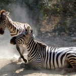 Zebras may occasionally eat herbs, shrubs, twigs, leaves and bark although they feed almost entirely on grasses