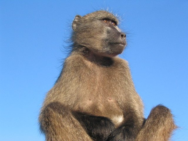 The baboon still continues to live high up among the rocks nursing his bald patch on his backside where he landed
