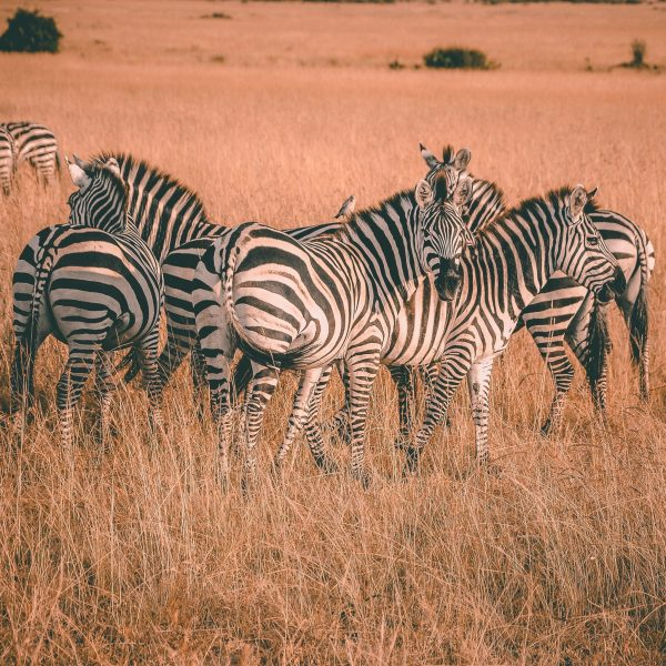 The Grevy's Zebra census conducted was one of its kind