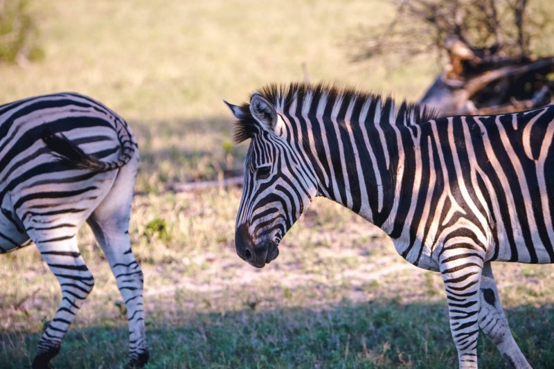 The largest of the three zebras is the Grevy's zebra species