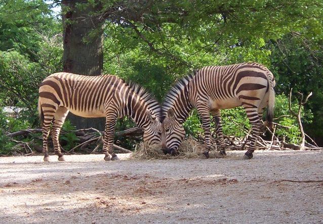 Mountain zebra is a hauntingicon of Africa