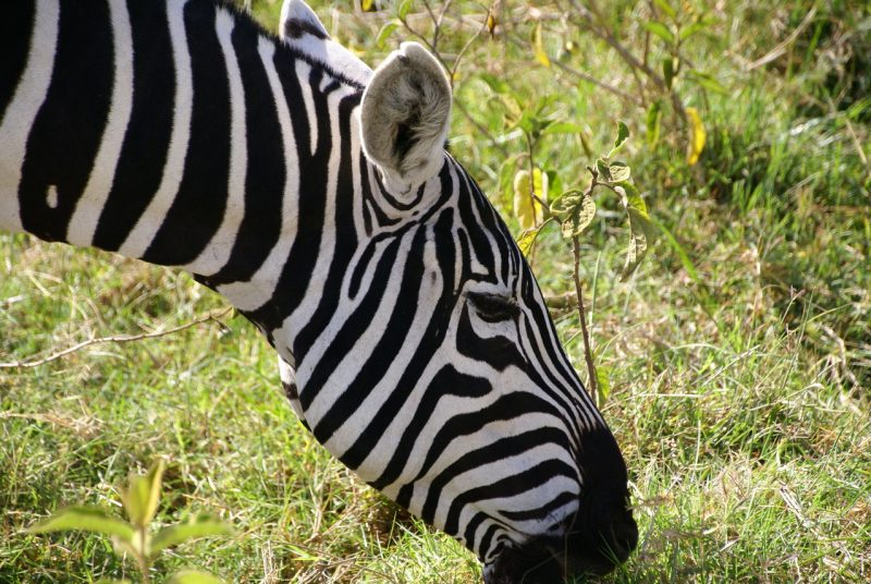 Many Kenyan stories and tales are told of zebras to explain their unique behavior or looks