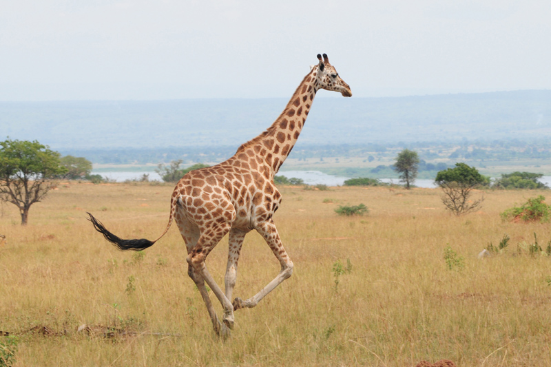 Giraffe Source:TrekEarth