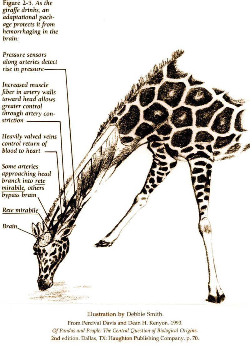 The secrets of giraffe's circulatory system revealed