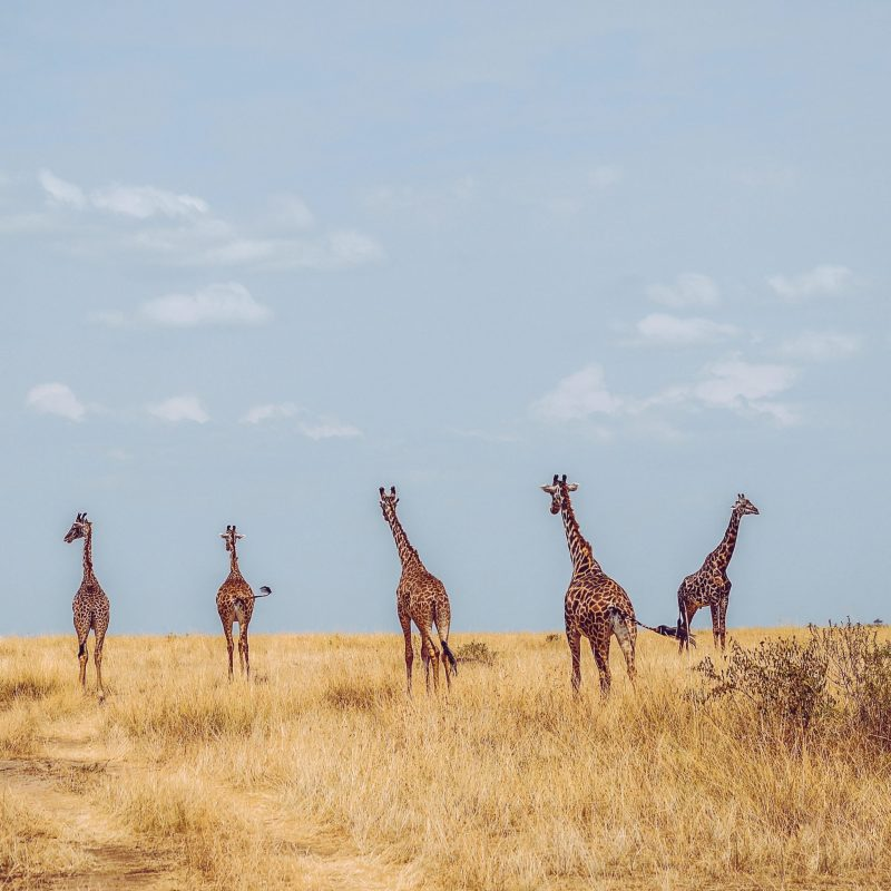 iraffes tower and journey the savannas, grasslands, and plains of eastern and southern Africa