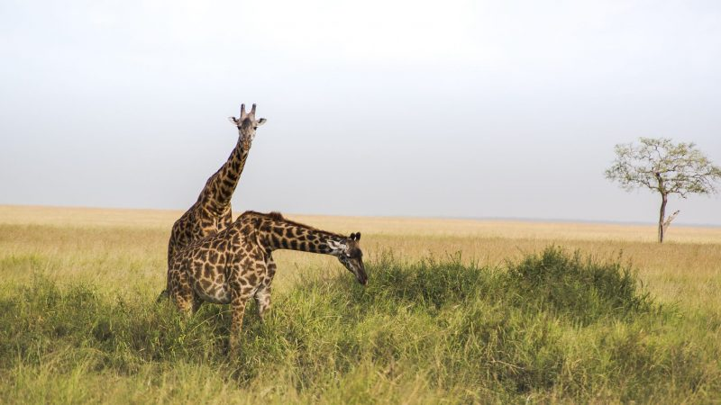Considered as the icons of Kenyan plains, Maasai giraffeis the largest subspecies of the giraffe family