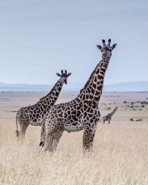 An estimated 40,000 Maasai giraffes freely roam the savannas of Kenya