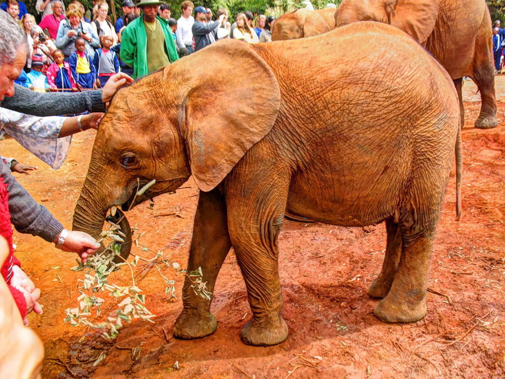 David_Sheldrick_baby_elephant_hand_fed