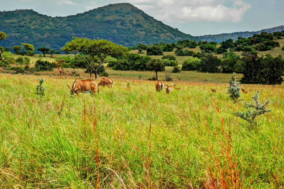 Ruma National Park_Roan antelopes grazing