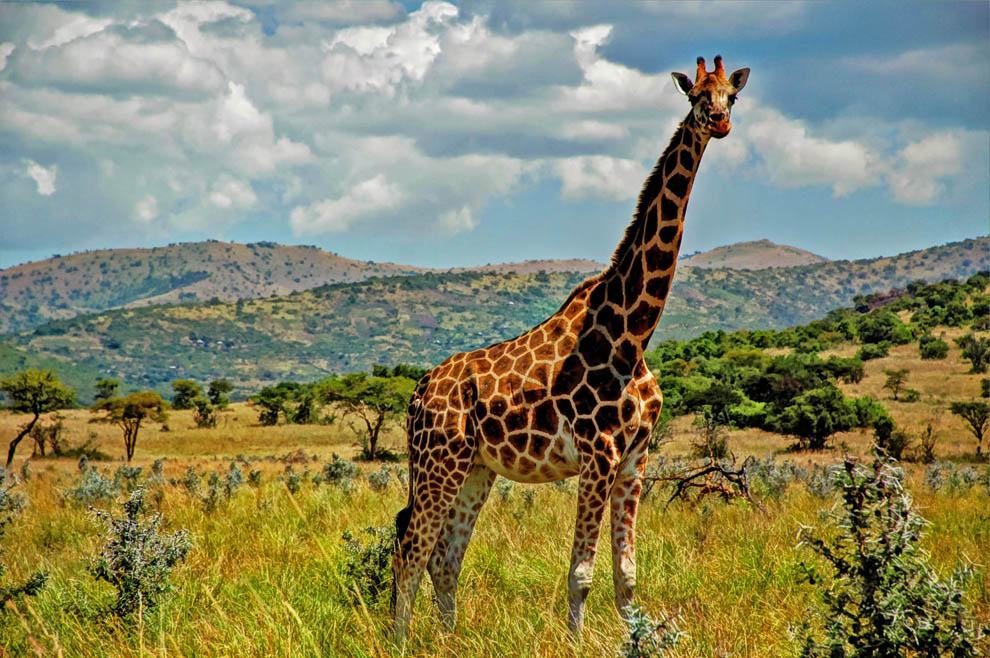 Ruma National Park_Rothschild's giraffe