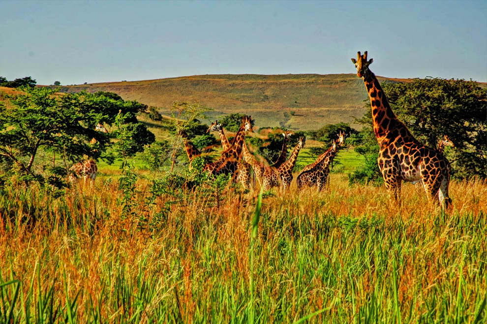 Ruma National Park_Rothschild's giraffes