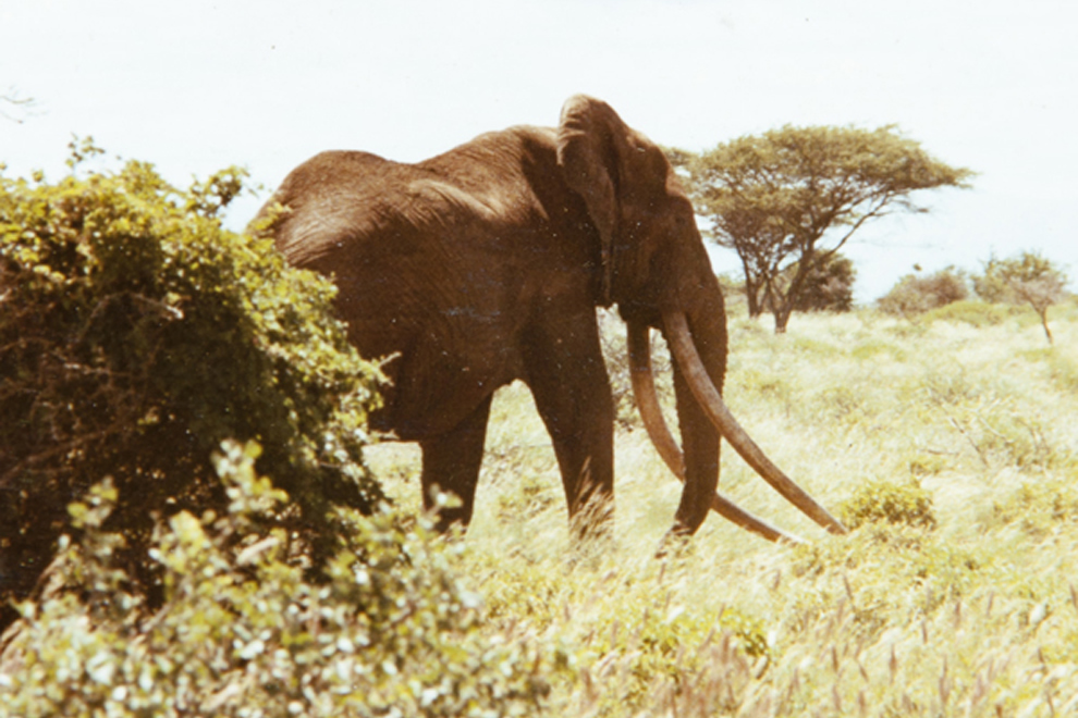 Marsabit National Park_Ahmed the elephant