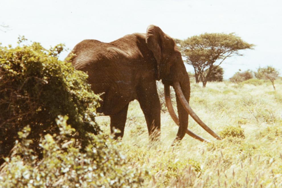 Marsabit National Park_Ahmed the elephant