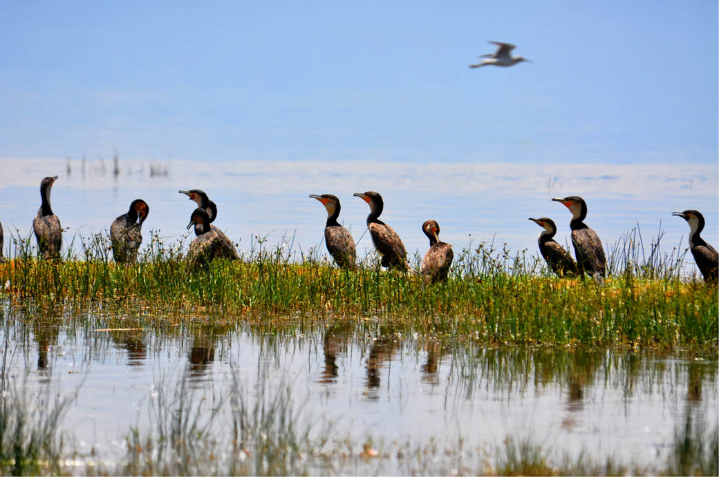 Cormorants in the shore of Lake Nakuru