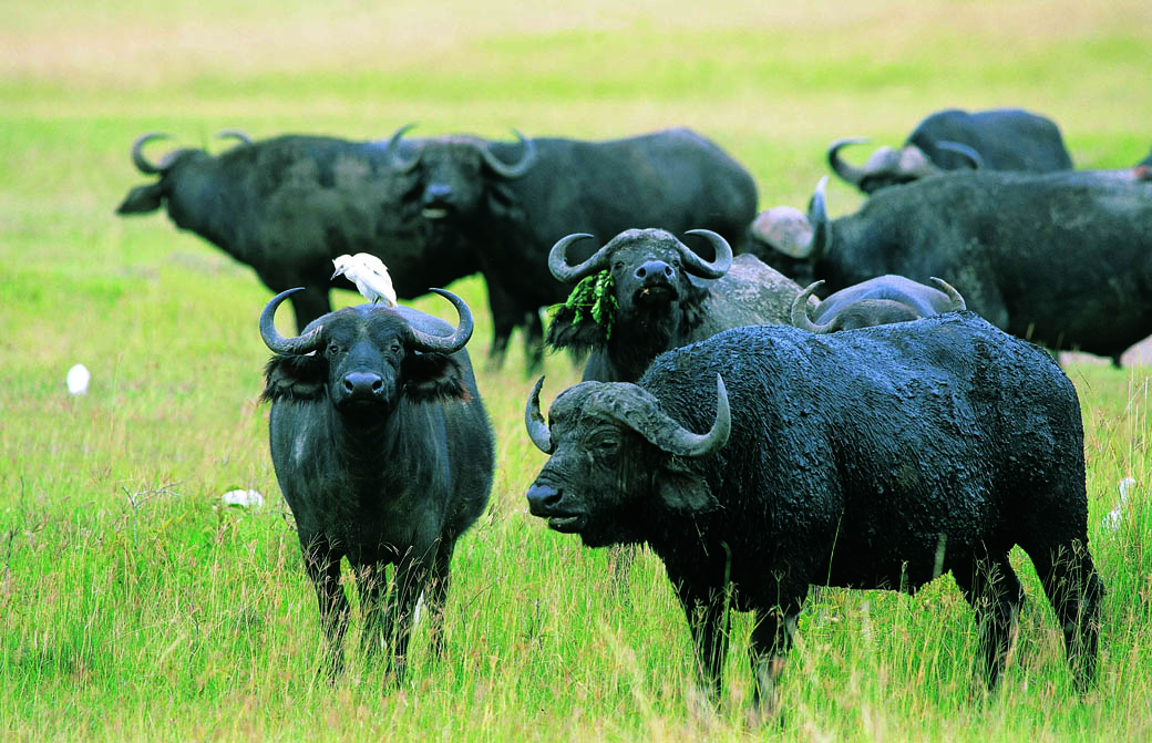 Herds of Buffalo's are common in the Lake Nakuru National Park