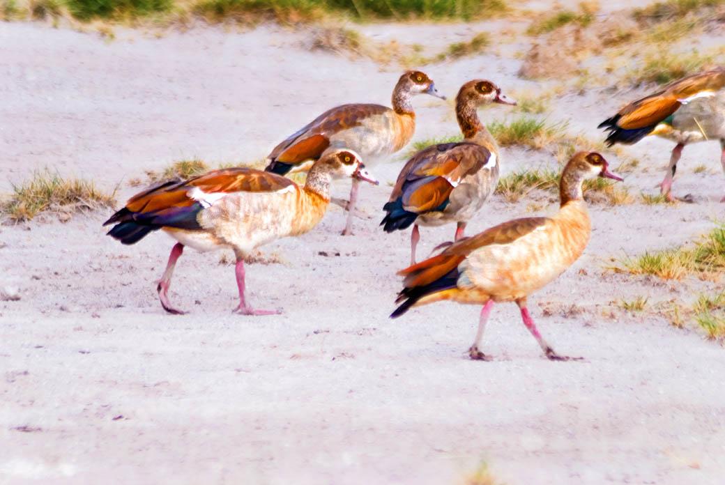 Egyptian geese taking a stroll in the Lake Nakuru National Park