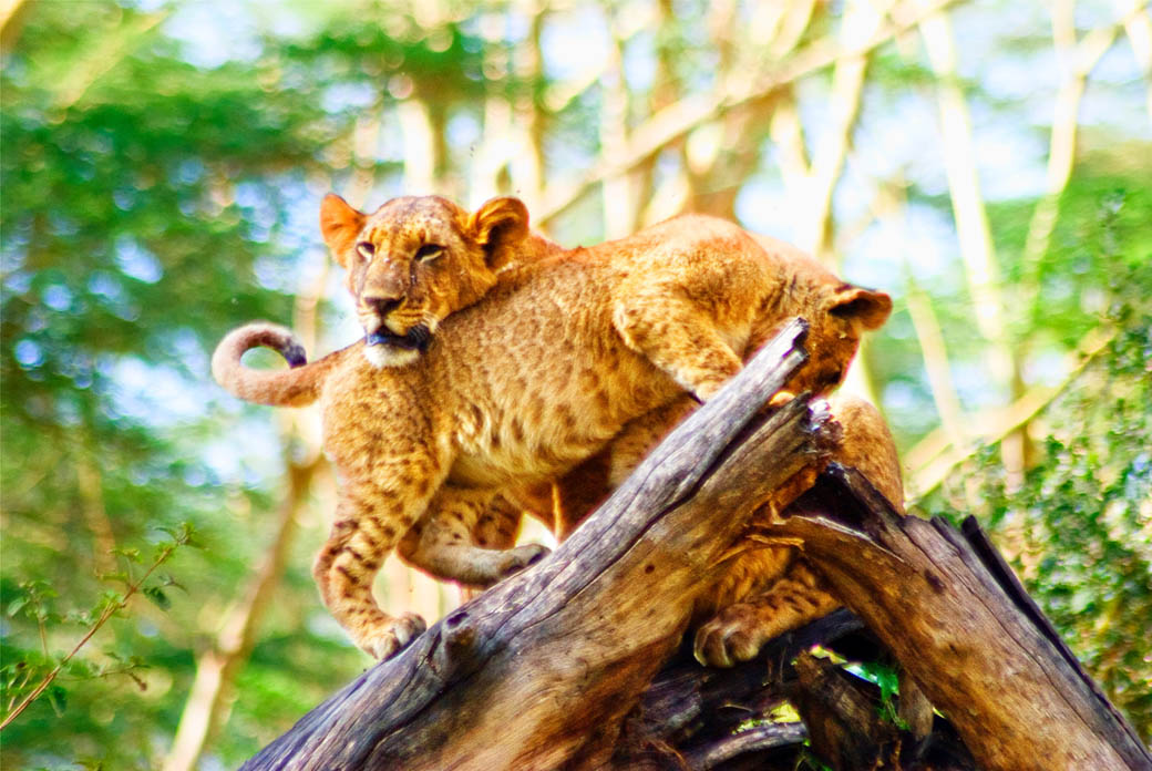 Lioness and cub in the Lake Nakuru National Park