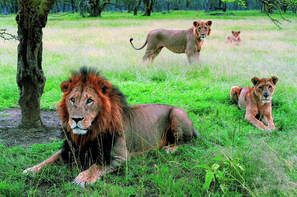 A pride of Lions in the Lake Nakuru National Park