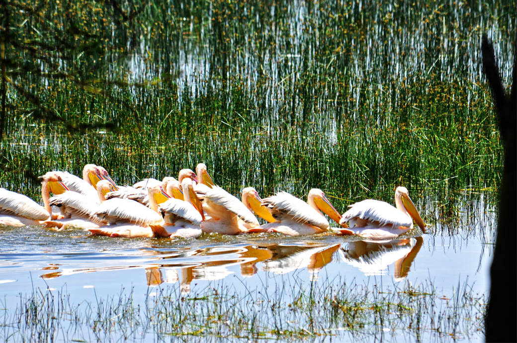 Lake Nakuru has a huge concentration of Pelicans