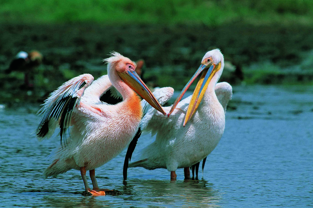 Lake Nakuru National Park_pelicans2