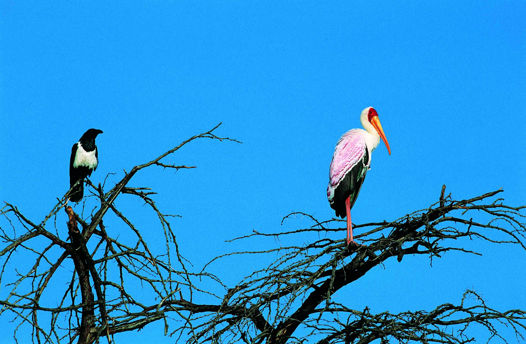 Crow and Stork perched on a tree in the Lake Nakuru National Park