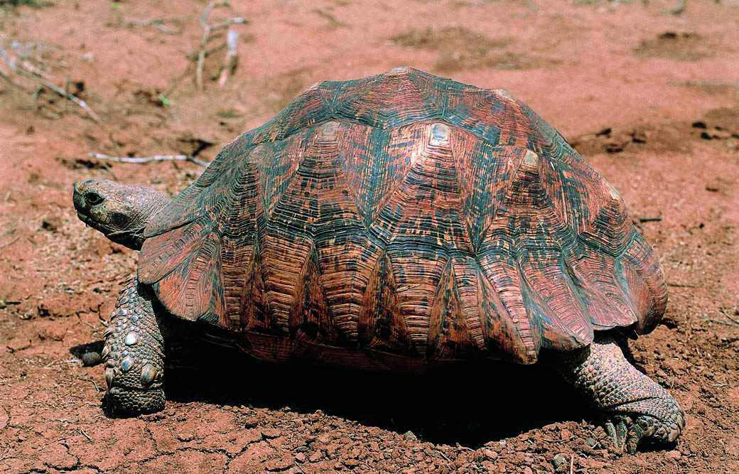 Lake Nakuru National Park_tortoise